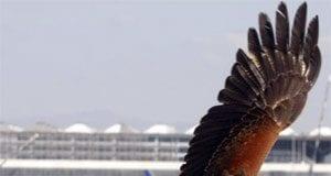 Malaga airport falcons
