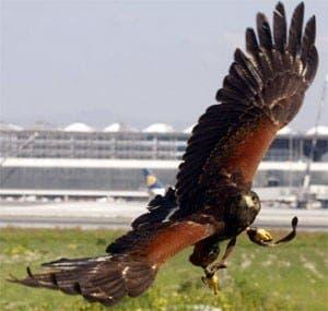 malaga-airport-falcons