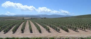 super-intensive-olive-grove-in-sorbas-area3