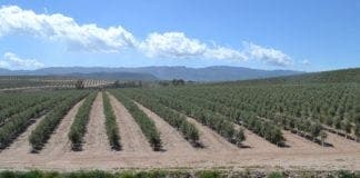 super intensive olive grove in Sorbas area e