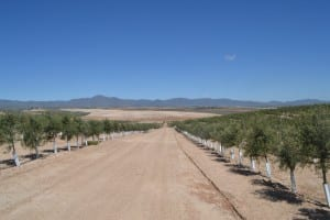 super-intensive-olive-grove-in-sorbas-area8