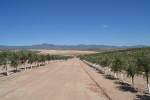 super-intensive-olive-grove-in-sorbas-area8