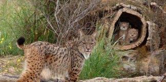 lynx dead