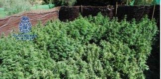 Plantación marihuana Ronda