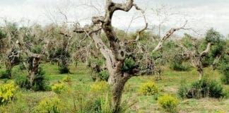 Palma Olives