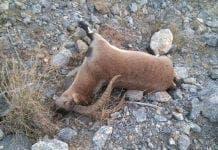 ibex killed
