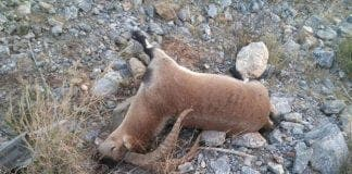 ibex killed