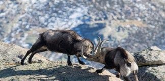 goat battle