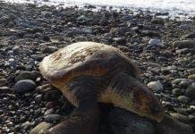 turtle san pedro e