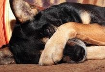 Why Do Dogs Cover Their Eyes With Their Paws Petset
