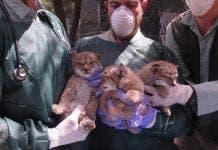 lynx puppies