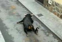 bull breaks legs