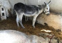 donkey death