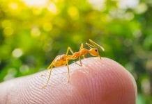 fire ant bites