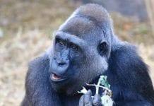 gorilla buu