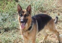German Shepherd Murph