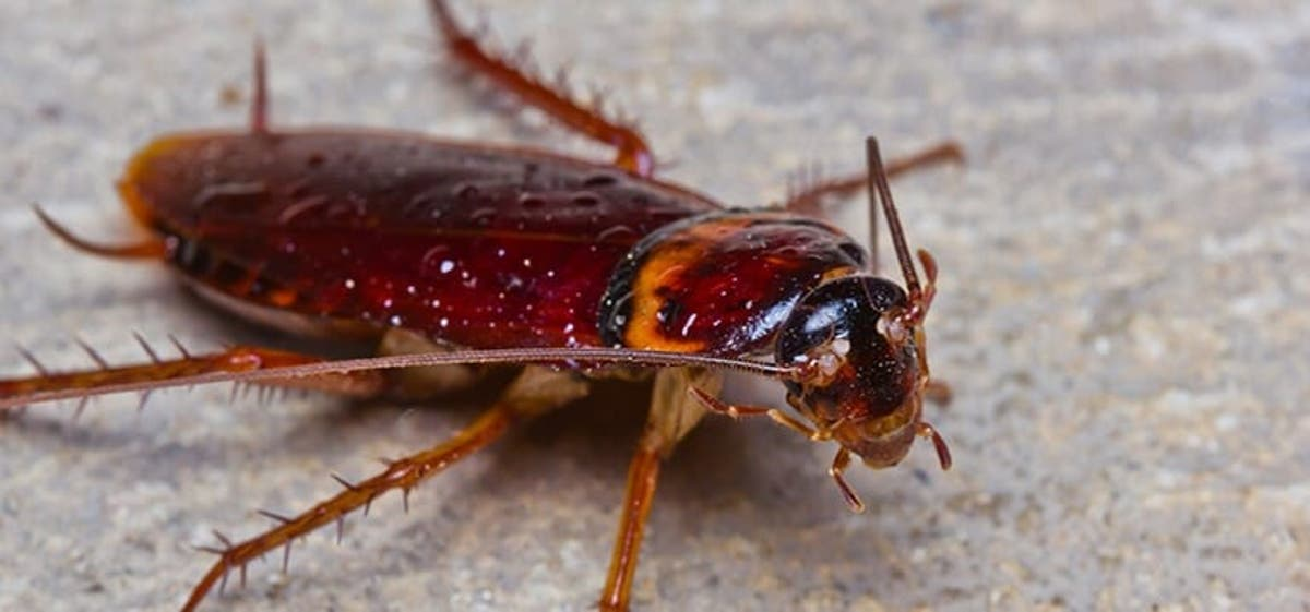 Cockroaches Are Becoming Immune To Powerful Insecticides Olive Press News Spain