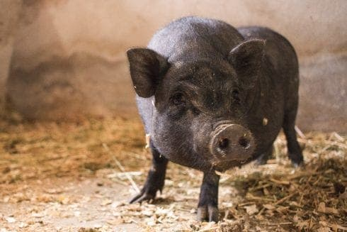 SAVING THEIR BACON: Second pig in two months runs from slaughter and into Brit-run Costa Blanca animal shelter