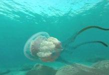 Giant Jellyfishh