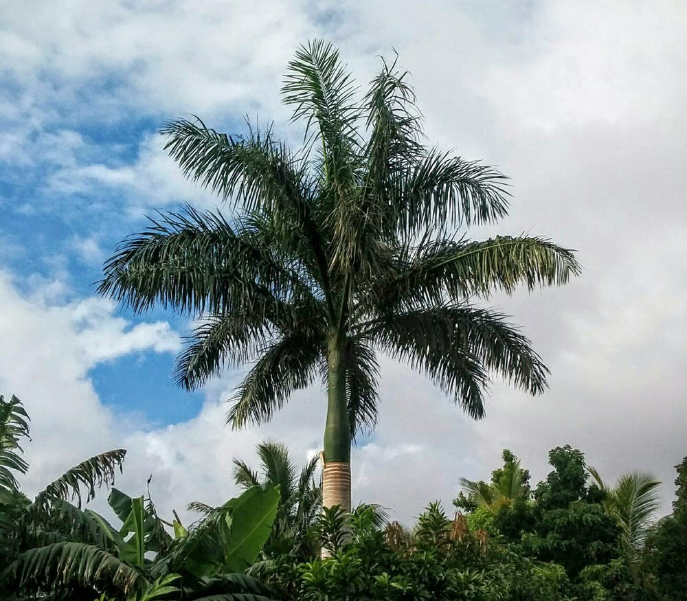 Cuban Royal Palm Tree