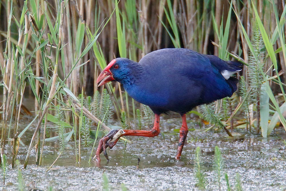 Purple Gallinule Minsmere Suffolk July 2016 Steve Gantlett