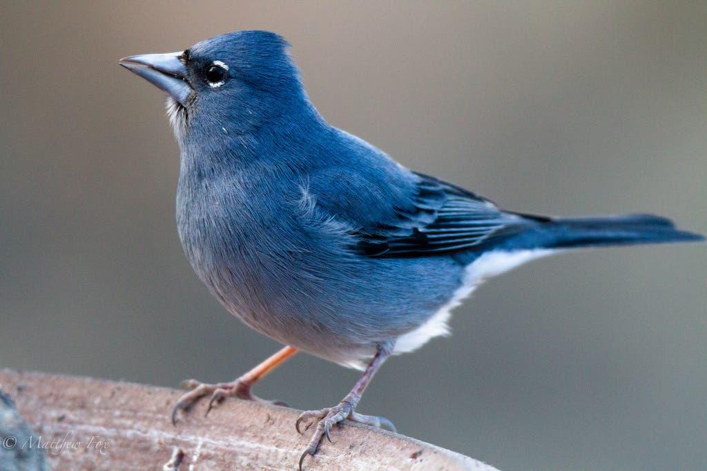 Blue_chaffinch