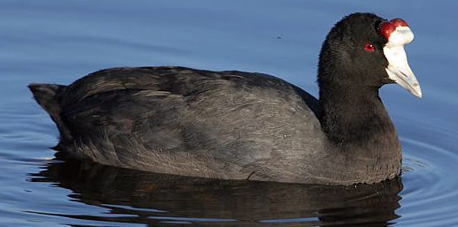 Red Knobbed_coot