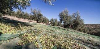Jaen Olives