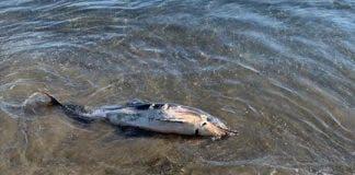 Dead Delfin