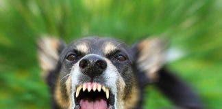 Rabies Dog