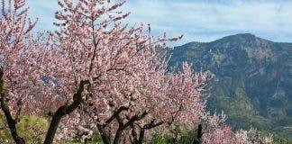 Marcona Almond Trees