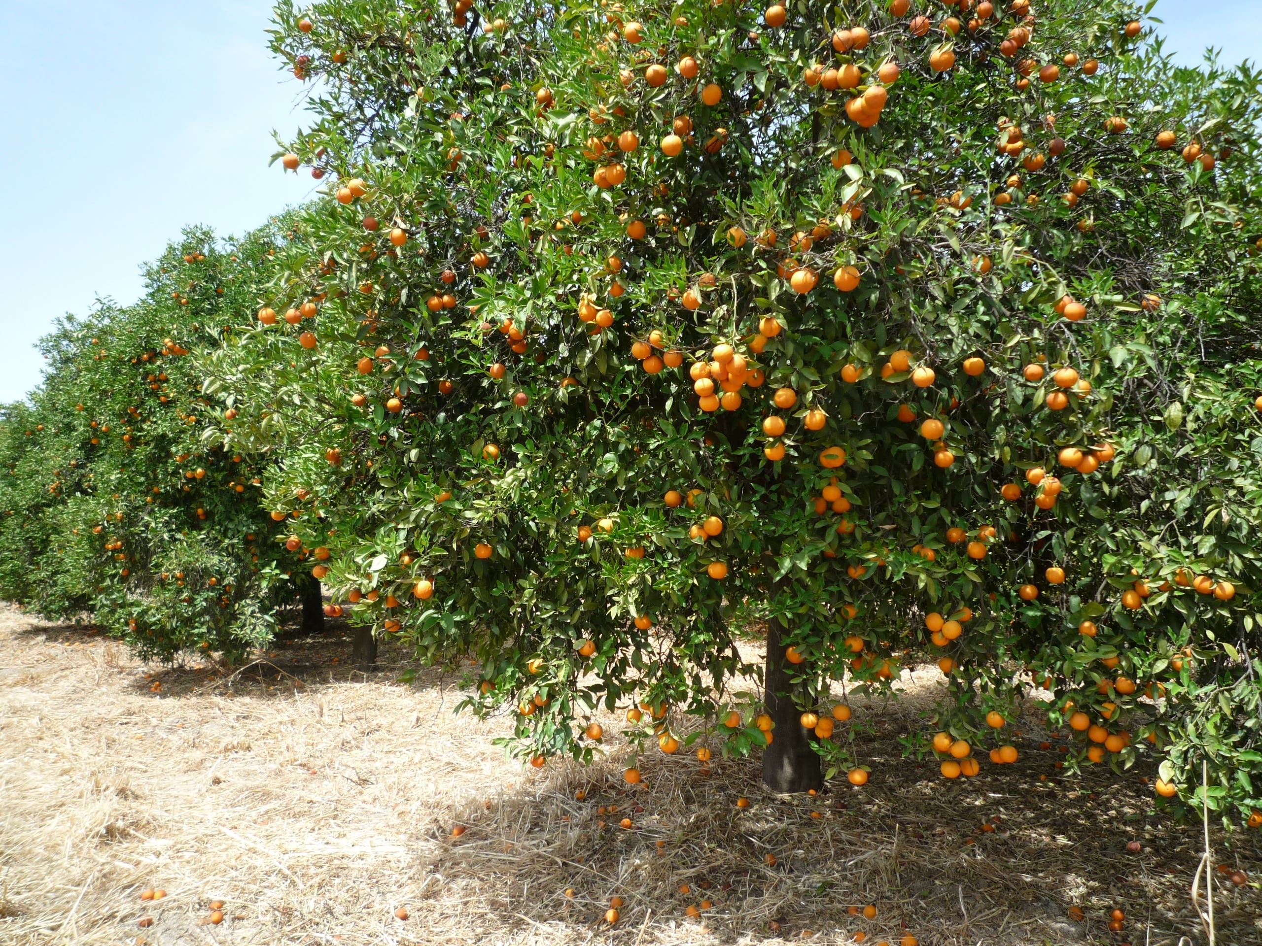 Oranges Cordoba