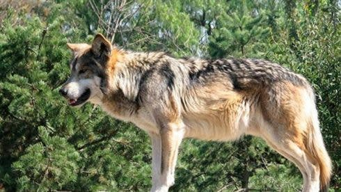 Authorities sanction hunt for lone wolf terrorising livestock in Spain's Basque Country