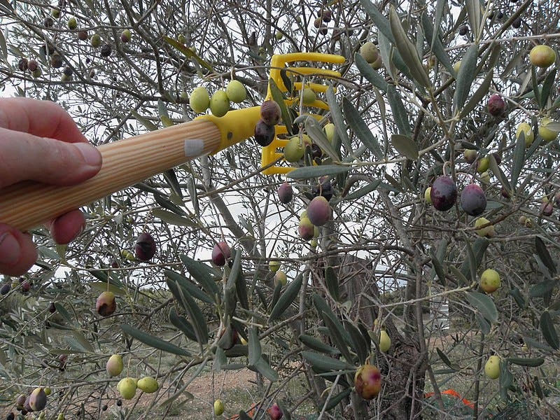 800px Harvesting_of_olives_salonenque_with_comb