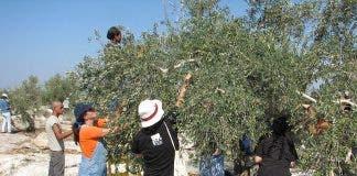 Olive_harvest