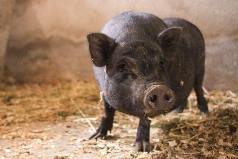 Second Runaway Pig Penelope 1 490x327 1
