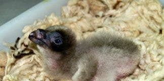Baby Bearded Vulture