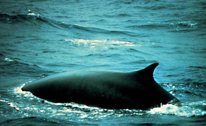 Fin_whale
