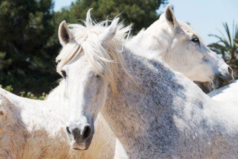 Ehcrc Horse 1