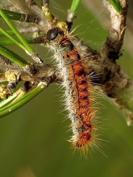 450px Pine_processionary Moth_caterpillar_31406239183