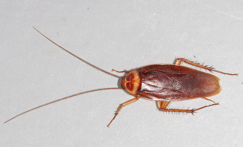 800px American Cockroach_mirror