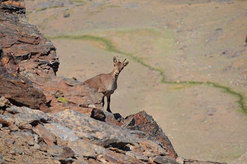 800px Cabra Montes En Sierra Nevada Granada Espa A Foto_tom S_quirosa