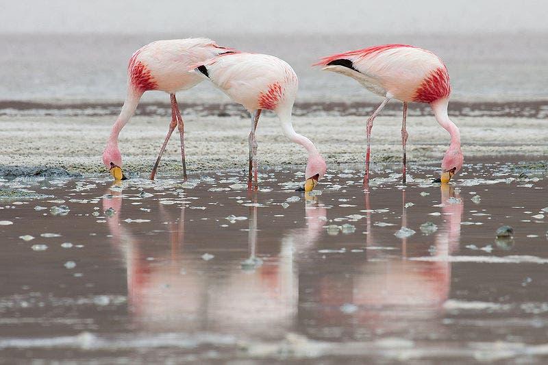 800px James_flamingos_mc