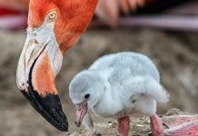 Breeding Flamingoes
