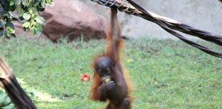 Baby Orangutan Bioparc