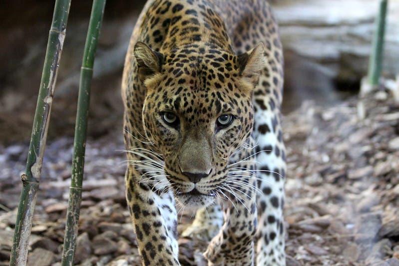 Jaguar Bioparc