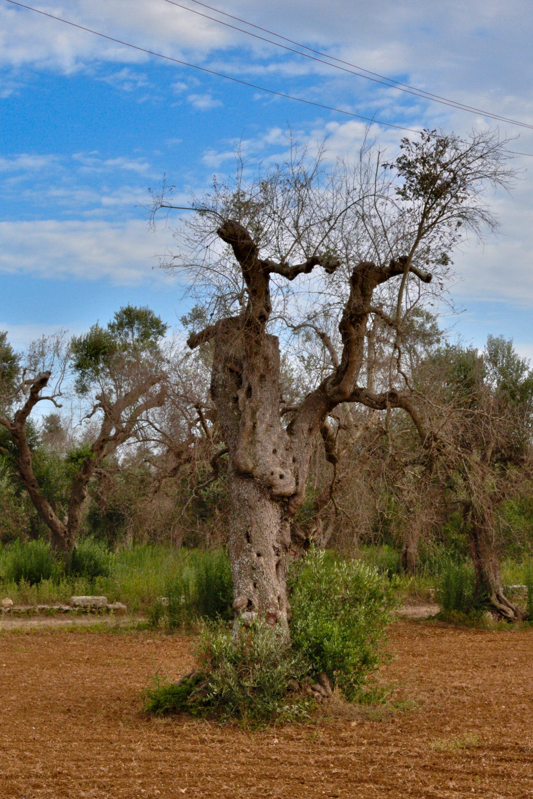 Olive Tree Affected By Xylella Bacterium
