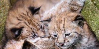 Tiny Lynx Cubs