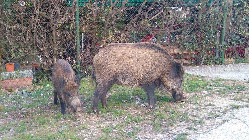 Wild_pigs_in_vallvidrera
