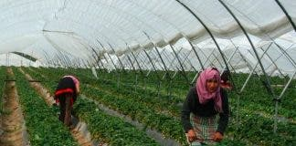 Strawberries Huelva